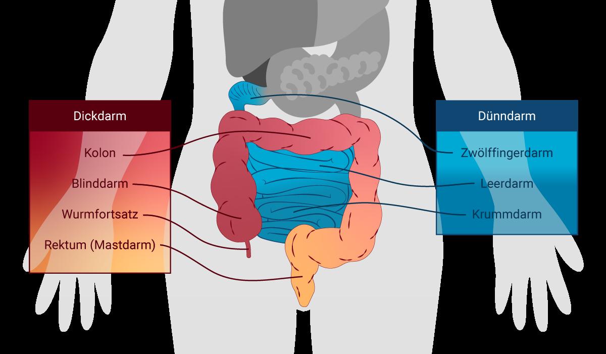Infografik Verdauung und Darm
