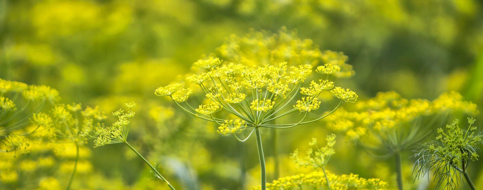 Fotoaufnahme der gelben Fenchelblüten: Sie wirken unter anderem gegen Blähungen und Völlegefühl.
