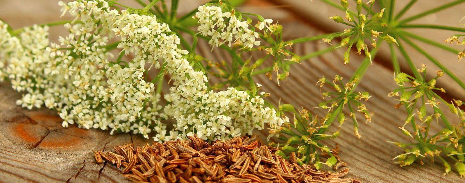 Kümmelpflanze mit den bekannten braunen Körnern. Sie sind bei Blähungen und Magenbeschwerden hilfreich.