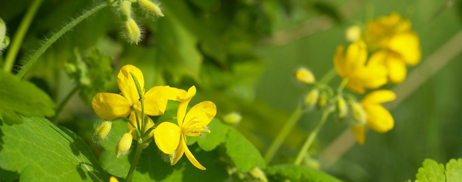 Schöllkraut zeichnet sich durch vierblättrige, gelbe Blüten aus – und wird bei Krämpfen im Magen-Darm-Trakt oder im Bereich der Gallenwege angewandt.