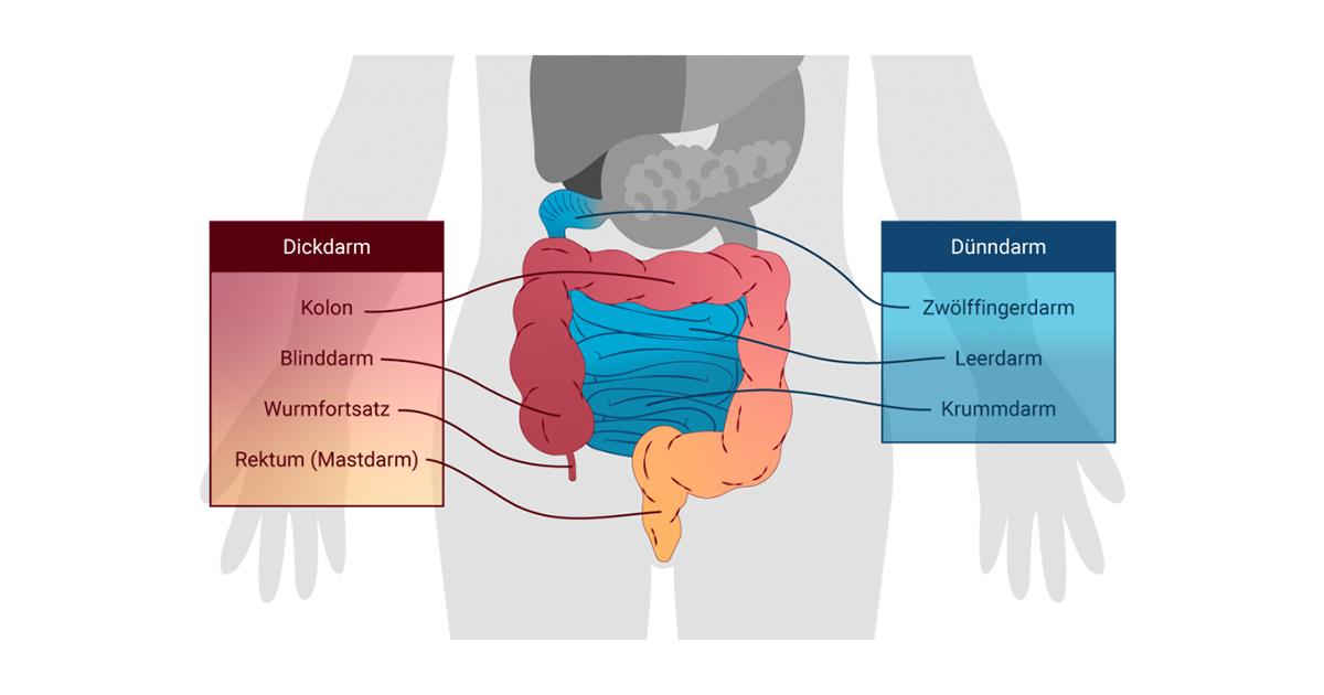 Grafische Darstellung des Dünn- und Dickdarms mit Beschreibung einzelner Bereiche.