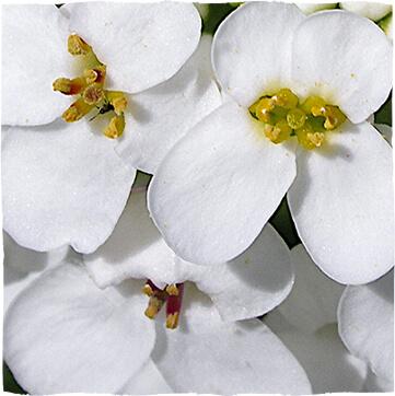 Iberis amara (Bittere Schleifenblume)