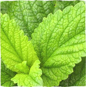 Melissenblätter (Melissae folium)