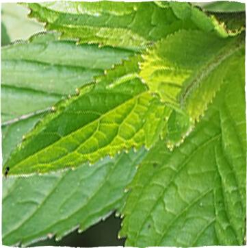 Pfefferminzblätter (Menthae piperitae folium)